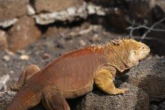 Galapagos land iguana ( Conolophus subcristatus ). Sunbathing Galapagos land iguana ( Conolophus subcristatus stock photo