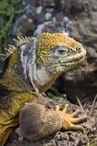 Galapagos Land Iguana (Conolophus subcristatus). Galapagos Islands. A Galapagos Land Iguana on South Plaza Island in the Galapagos Islands - Ecuador stock photo