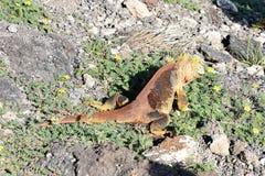 Galapagos land iguana Conolophus subcristatus. Eating in vegetation royalty free stock photo