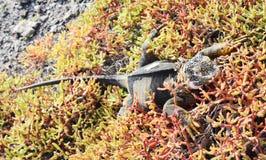 Galapagos land iguana Conolophus subcristatus. Shredding skin stock photography