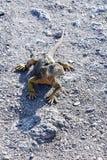 Galapagos land iguana Conolophus subcristatus. Walking on gravel stock photos