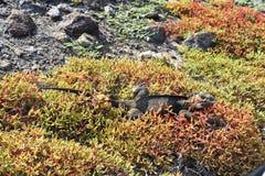Galapagos land iguana Conolophus subcristatus. Shredding skin royalty free stock images