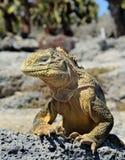 Galapagos Land Iguana ( Conolophus subcristatus ), Stock Photography