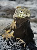 Galapagos Land Iguana ( Conolophus subcristatus ), Royalty Free Stock Photography