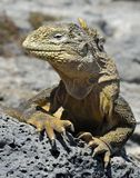 Galapagos Land Iguana ( Conolophus subcristatus ),. South Plaza Island, Galapagos stock images