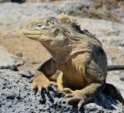 Galapagos Land Iguana ( Conolophus subcristatus ), Royalty Free Stock Images