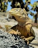Galapagos Land Iguana ( Conolophus subcristatus ),. South Plaza Island, Galapagos stock photography