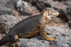 Galapagos Land Iguana Royalty Free Stock Images