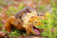 Galapagos Land Iguana eating flowers on North Seymour island, Ga Royalty Free Stock Photo