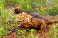 Galapagos Land Iguana eating flowers on North Seymour island, Ga Stock Photography
