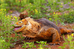 Galapagos Land Iguana eating flowers on North Seymour island, Ga Stock Photography