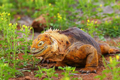 Galapagos Land Iguana eating flowers on North Seymour island, Ga Royalty Free Stock Image