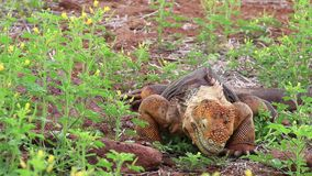 Galapagos Land Iguana eating flowers on North Seymour island, Galapagos National Park, Ecuador