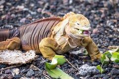 Galapagos land iguana eating Stock Photo