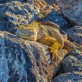 Galapagos Land Iguana, Ecuador. Close up of a Galapagos land iguana Conolophus subcristatus on South Plaza island at sunset, Galapagos Islands national park stock image