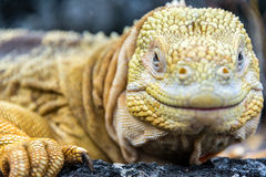 Galapagos Land Iguana Face Stock Photos