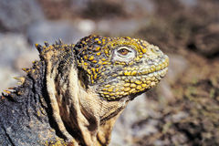 Galapagos land iguana, Galapagos Islands, Ecuador Royalty Free Stock Photography