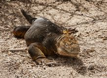 Galapagos Land Iguana. Land Iguana, on Grand Seymore Island, Galapagos islands, Ecuador royalty free stock photography