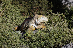 Galapagos land iguana inn on the succulent plant Stock Images