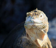 Galapagos land iguana. Land iguana in the Galapagos Islands royalty free stock images