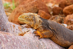 Galapagos Land Iguana lying on a tree trunk on North Seymour isl Stock Images