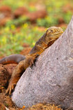 Galapagos Land Iguana lying on a tree trunk on North Seymour isl Stock Image