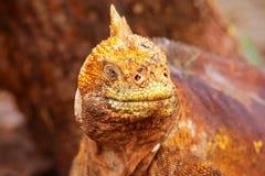 Galapagos Land Iguana on North Seymour island, Galapagos Nationa Royalty Free Stock Photo