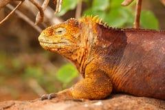 Galapagos Land Iguana on North Seymour island, Galapagos Nationa Stock Image