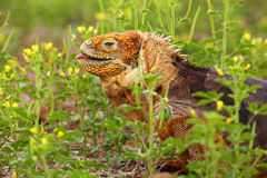 Galapagos Land Iguana on North Seymour island, Galapagos Nationa Stock Photos