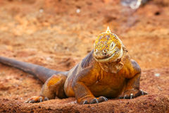 Galapagos Land Iguana on North Seymour island, Galapagos Nationa Stock Photography