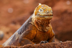 Galapagos Land Iguana on North Seymour island, Galapagos Nationa Stock Photos