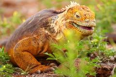 Galapagos Land Iguana on North Seymour island, Galapagos Nationa Royalty Free Stock Photos