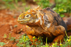 Galapagos Land Iguana on North Seymour island, Galapagos Nationa Stock Images