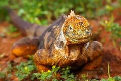 Galapagos Land Iguana on North Seymour island, Galapagos Nationa Royalty Free Stock Image