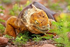 Galapagos Land Iguana on North Seymour island, Galapagos National Park, Ecuador. Galapagos Land Iguana (Conolophus subcristatus), on North Seymour island royalty free stock photography