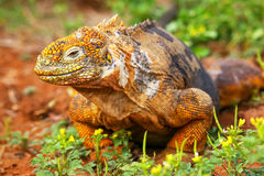 Galapagos Land Iguana on North Seymour island, Galapagos Nationa Royalty Free Stock Photo