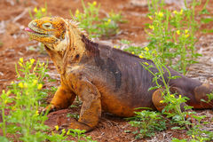 Galapagos Land Iguana on North Seymour island, Galapagos Nationa Royalty Free Stock Photos
