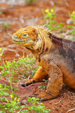 Galapagos Land Iguana on North Seymour island, Galapagos Nationa Stock Image