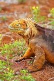 Galapagos Land Iguana on North Seymour island, Galapagos National Park, Ecuador. Galapagos Land Iguana (Conolophus subcristatus), on North Seymour island stock image