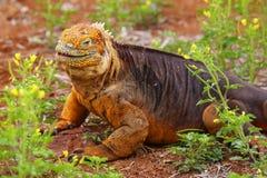 Galapagos Land Iguana on North Seymour island, Galapagos National Park, Ecuador. Galapagos Land Iguana (Conolophus subcristatus), on North Seymour island stock photo