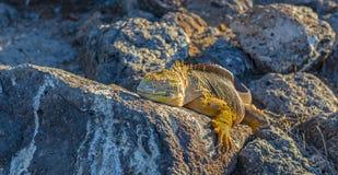 Galapagos Land Iguana Panorama, Ecuador. Panoramic photograph of a Galapagos land iguana, Conolophus Subcristatus, on South Plaza island at sunset, Galapagos royalty free stock image