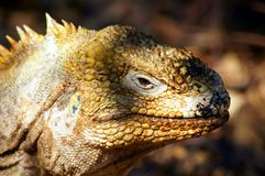 A Galapagos Land Iguana Poses Royalty Free Stock Photos