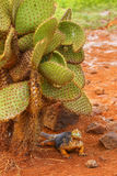 Galapagos Land Iguana sitting under cactus on North Seymour isla Stock Photography