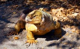 A Galapagos Land Iguana Surveys his Surrounding Stock Photo