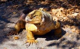 A Galapagos Land Iguana Surveys his Surrounding Stock Photo
