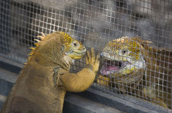 Galapagos Land Iguanas Stock Photography