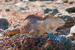 Galapagos Land Iguanas Royalty Free Stock Photos
