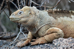 Galapagos-Land-Leguan lizenzfreie stockbilder