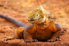 Galapagos-Land-Leguan auf Nord-Seymour-Insel, Galapagos Nationa lizenzfreie stockbilder