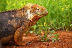 Galapagos-Land-Leguan auf Nord-Seymour-Insel, Galapagos Nationa lizenzfreie stockfotos